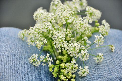 gėlės,gamta,laukas,Šalis,džinsai,baltos gėlės,fleurs des champs,laukinė gėlė,sodas,laukinės gėlės,pavasario gėlės