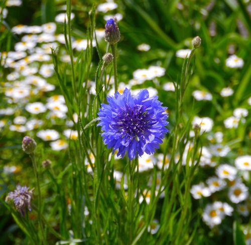 gėlės,mėlynas,mėlyna-violetinė,horizontalus horizontalus kelias,mokesčio stotis,geliu lova,margaret,balta,geltona,Japonija