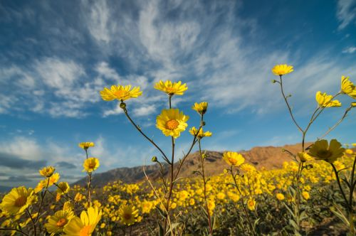 gėlės, dykuma & nbsp, auksas, geltona, auga, spalvinga, laukinės vasaros spalvos, vaizdingas, viešasis & nbsp, domenas, tapetai, fonas, gėlių, mirtis & nbsp, slėnis & nbsp, nacionalinis & nbsp, parkas, usa, žydi, žiedlapiai, žiedai, šviežias, augalai, geraea & nbsp, canescens, dykuma & nbsp, saulėgrąža, plaukuotas & nbsp, dykumas & nbsp, saulėgrąžos, gėlės