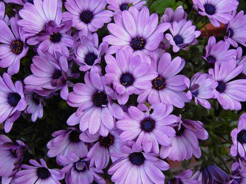 viršukalnės krepšys,gėlės,violetinė,violetinė,žiedas,žydėti,struktūra