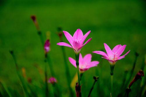 gėlės,rausvos gėlės,gamta,chrizantema gėlė,spalvinga,gėlių sodas,rožinė šviežios gėlių skonio,rožinis,žalias,Chiang Mai Tailandas,mažos rožinės gėlės,mažos gėlės,krūmų gėlės