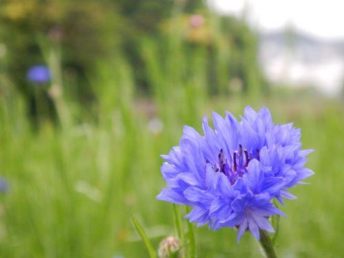 gėlės,mėlynas,nemofila,mielas,Nepamiršk manęs,sodas,Japonijos gėlė,lapai,laukinė žolė,šviesiai violetinė,violetinė,žolė,pavasario gėlės,geliu lova,mėlyna-violetinė,floret,žalias,pavasaris,natūralus,Japonija,augalas,vasara