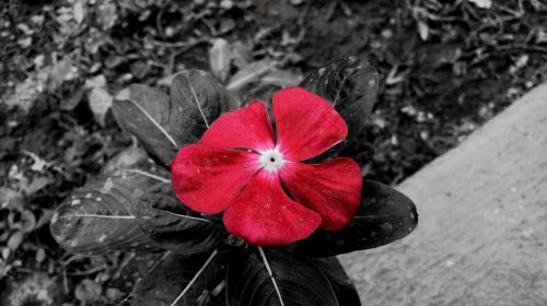 laukinės gėlės,violetinė,gėlė,horizontalus,gamta,šviežumas,laukiniai,aguona,laukinės gėlės gėlė,grunto planas,baltas fonas,papuoštas,raudona gėlė,žydėti,aguonos gėlė,raudona,žiedlapis,balta,subtilus gėlė,fotografija,gėlės,gėlė,gamtos grožis