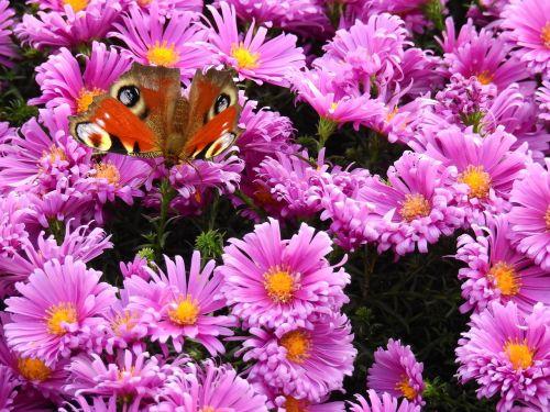gėlės,violetinė,gamta,augalas,drugelis,fonas,žemėlapis,atvirukas,Povas asters,alpinis asteris,kompozitai,astereae