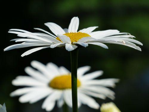 gėlės,balta,pievių maržeritas,leucanthemum vulgare,gėlė,žydėti,pievos margeritas,mokama feverfew,rozės,kompozitai,asteraceae,marguerite,leucanthemum,pavasaris,vasara,žiedas,žydėti,pieva,laukinės gėlės,laukinė gėlių pieva,blütenmeer,sodo augalas,konteinerių gamykla,laukinė gėlė,schnittblume