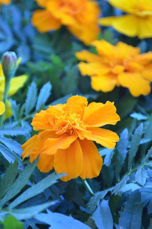 stebuklas,gėlės,gerberai,floristas,pavasaris
