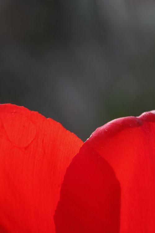 gėlės,tulpė,pavasaris,žiedlapis,raudona,tulpių spyruoklė