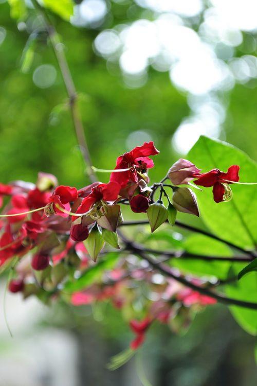 gėlės,raudonos gėlės,žiedas,žiedai,gamta,augalai,augalas,laukiniai,Šri Lanka,Mawanella,ceilonas