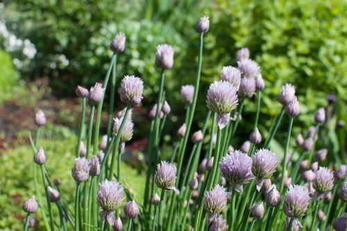 gėlės,Alyva,žydėti,pavasaris,gėlė,augalas,sodo gėlės,purpurinės gėlės,gražios gėlės