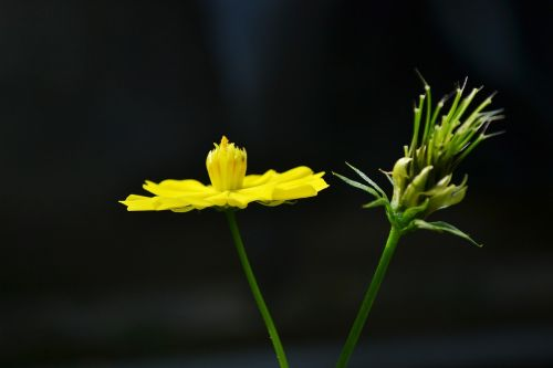 gėlės,gėlė,geltona gėlė,augalas,Šri Lanka,Mawanella,ceilonas,gamta