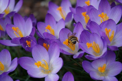gėlės,gamta,Uždaryti,purpurinė gėlė,Crocus,Crocus gėlės,pavasaris,bičių