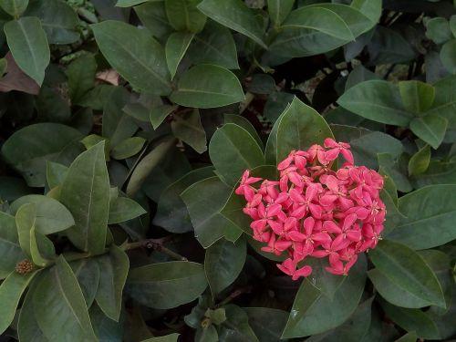 gėlės,gėlių špagatas,raudonos gėlės,rožinės gėlės,krūmas,medis,rausvos gėlės,tamsiai rožinė,augalas,mažos gėlės
