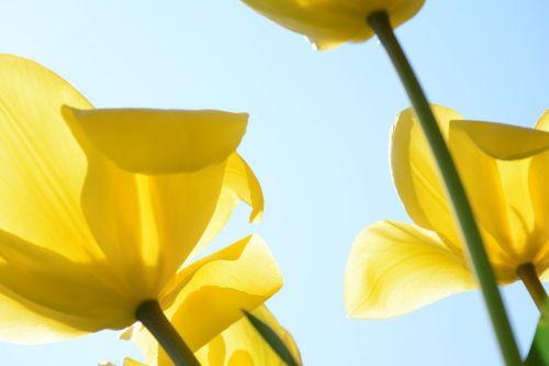 gėlės,tulpė,geltonos gėlės,pavasaris,šviesa,gamta