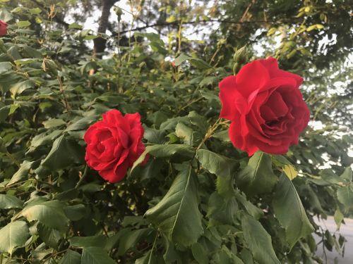 gėlės,raudona,atsitiktinai
