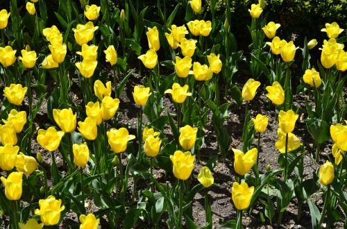 gėlės,tulpės,geltona,geltonos gėlės,gėlė,žydėti,flora