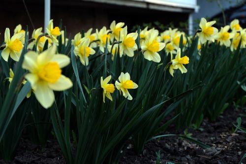 gėlės,geltona,sodas,gėlė,gražios gėlės,pavasaris,pavasario gėlės,geliu lova,šviesus,gėlės geltonos spalvos,geltonos gėlės,graži gėlė,flora