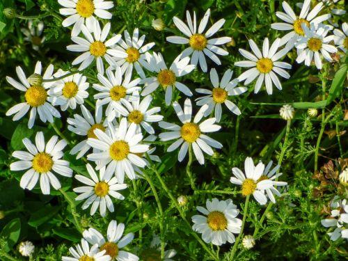 gėlės,laukas,pievos gėlė,wildflower,balta gėlė,augalas,vasaros gėlė,vasaros laukinės žydros,pavasario laukiniai žiedai,gėlė,gamta