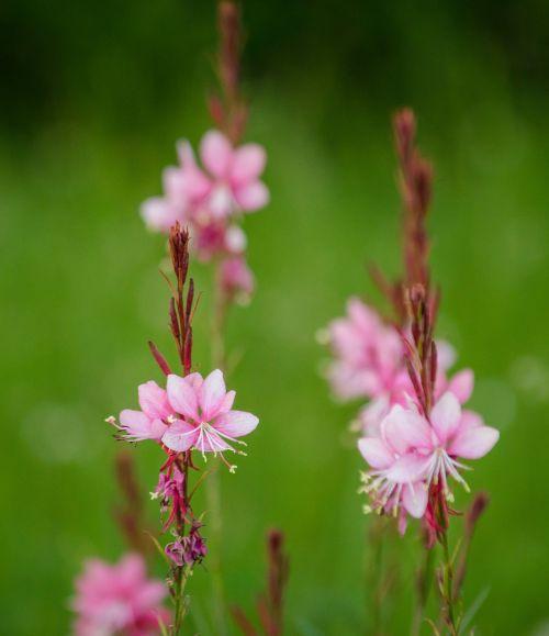 gėlės,violetinė,rožinis,blur,gamta,augalas,Uždaryti,filigranas,pavasaris,žiedas,žydėti,purpurinė gėlė,gėlė violetinė,violetinė,raudona violetinė,makro,vasara