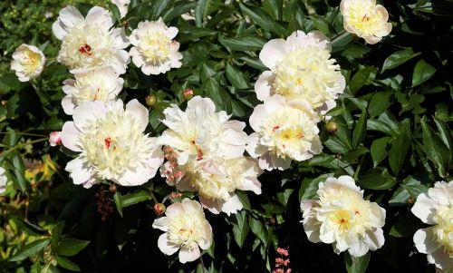 gėlės,pikonija,vasaros pradžia,sodas,gamta,subtilus gėlė,baltos gėlės,vasaros gėlės,fiore