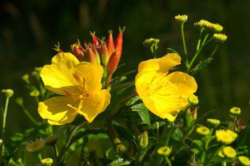 gėlės,geltona,subtilus gėlė,augalas,geltonos gėlės,vasaros gėlės,fiore,sodas,šviesus,papuošalai,vasaros pradžia