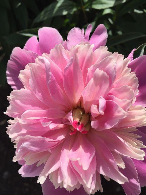 gėlės,rožinis,rožinės gėlės,blyškiai rožinė,spalva rožinė,sodas,vasaros gėlės,gamta,laukinės gėlės