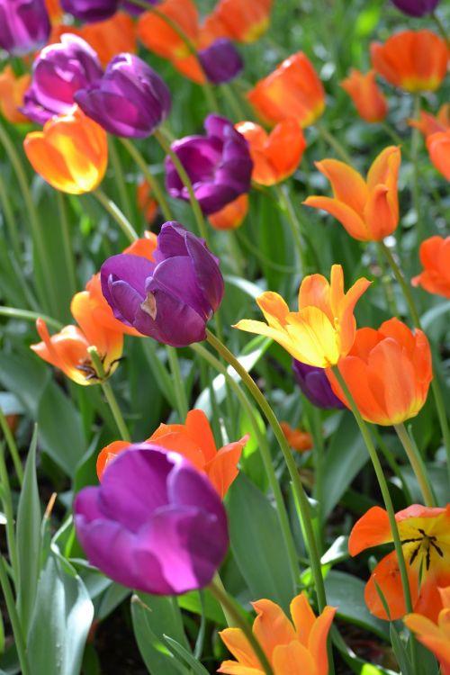 gėlės,tulpės,Niujorkas,parkas,kraštovaizdis,gamta,gėlė,augalai,pavasaris,sodas,spalvinga