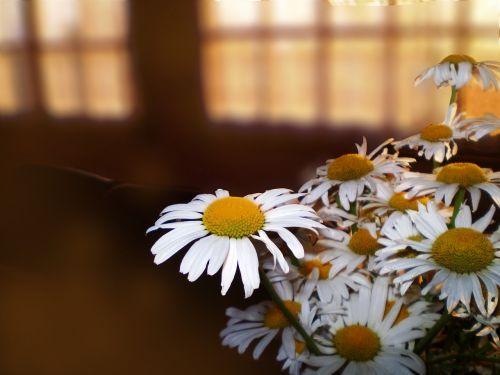 gėlės,penumbra,puokštė,Margaritas