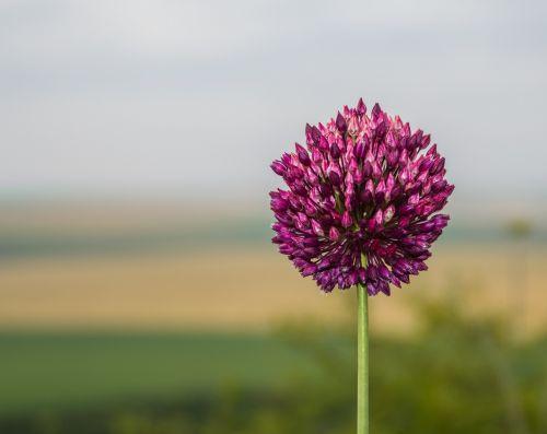 gėlės,gamta,rožinis,violetinė,žiedai,stiebas,stiebas,pavasaris,vasara,filialai,lauke,vis dar
