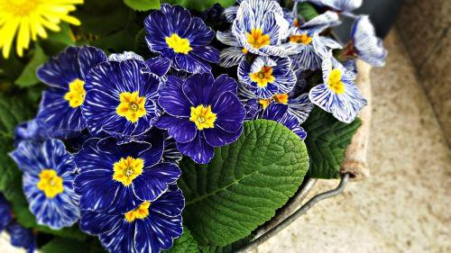 gėlės,sodas,gamta,gėlė,augalas,vasara,žydėjimas,violetinė,violetinės gėlės,mažos gėlės,mažos gėlės