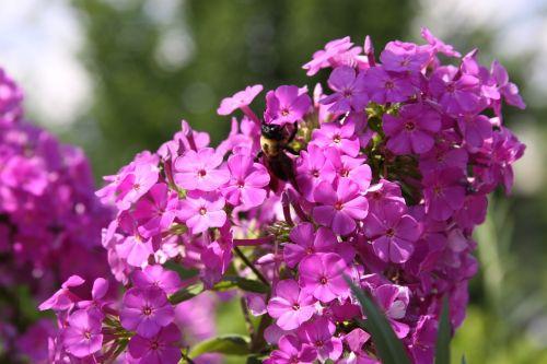 gėlės,bičių,kamanė,gamta,vabzdys,apdulkinimas,lauke,apdulkinimas,išplistų,žiedlapis,pavasaris