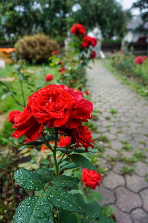 gėlės,rožės,lapai,žalias,raudona,toli,sodas,pieva,shen,poilsis,meilė