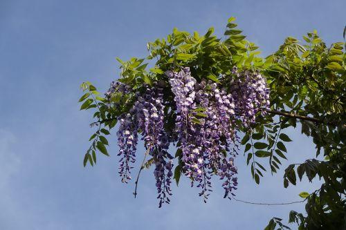 gėlės,vasaros pradžioje,ankstyvos vasaros gėlės,purpurinės gėlės,spalvingos gėlės,Wisteria,mėlynas dangus,gražus