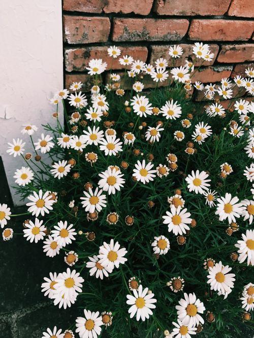 gėlės,margaret