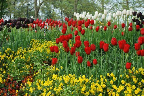 gėlės,tulpės,raudonos gėlės,geltonos gėlės,baltos gėlės,purpurinės gėlės,sodas,ežero konstanta,Vokietija