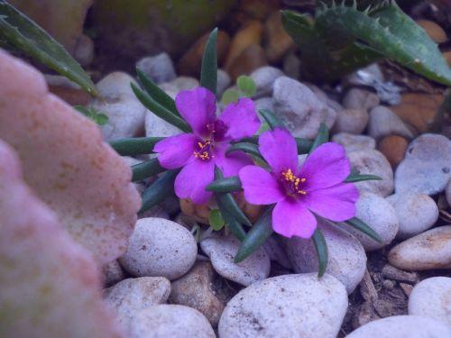 gėlės,gėlė,sodas,žiedlapis,kompozicinė gėlė,pavasaris,subtilus gėlė,flora,maža gėlė,gamta,pažeista gėlė,augalai,akmenys,laukinė gėlė,violetinė,laukinė flora,laukinės žolelės,žalias,purpurinė gėlė,žydėjimas,laukiniai,laukinės gėlės,violetinė