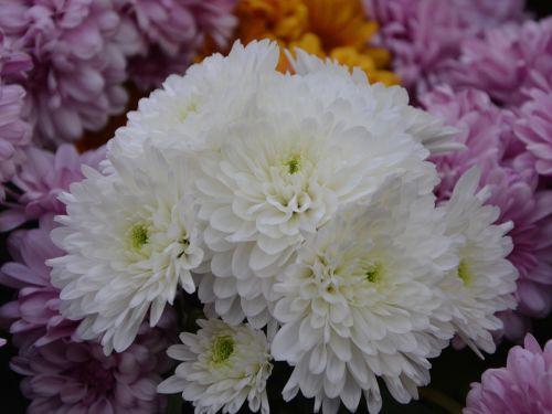 gėlės,baltos chrizantemos,gėlės krinta,gamta,augalas,baltos gėlės,chrizantema,gėlės gamta,pasiūlymas,žiedlapiai,masyvas,žydėjimas,puokštė,sodas,žydi,flora,botanika
