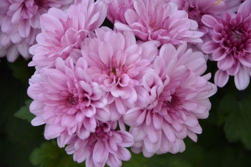 Gėlės, Chrizantemos Rožės, Žiedlapiai, Pasiūlymas, Gamta, Spalva Rožinė, Gėlės Gamta, Gėlės Krinta, Didžiulė Puokštė, Didelis Puodas, Augalas, Botanika, Flora, Mums, Botanikos Flora, Žydėjimas, Rožinės Gėlės