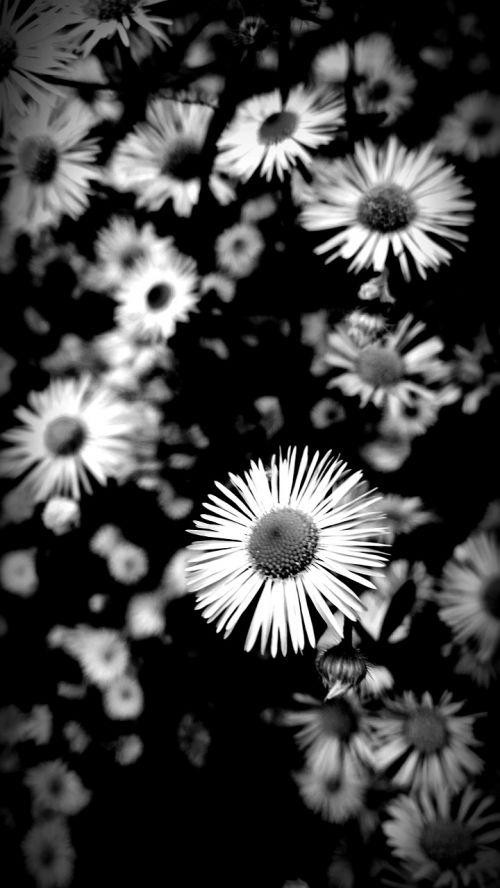 gėlės,juoda ir balta,gamta,juodos ir baltos spalvos įrašymas,gėlės fotografija,Uždaryti