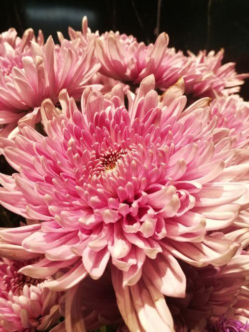 gėlės,gėlė,rožinis,šviežios gėlės,krūmų gėlės,gamta,dekoratyvinis,medienos rūšis,rausvos gėlės,mažos gėlės