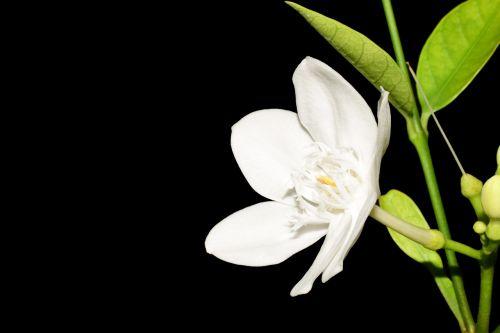 gėlės,gamta,šviežios gėlės,mažos gėlės,augalas,mažos gėlės,natūralios gėlės,marigoldas,baltos gėlės,žydėti,gėlė,medienos rūšis,graži,juodas fonas,tamsi,esu vienišas