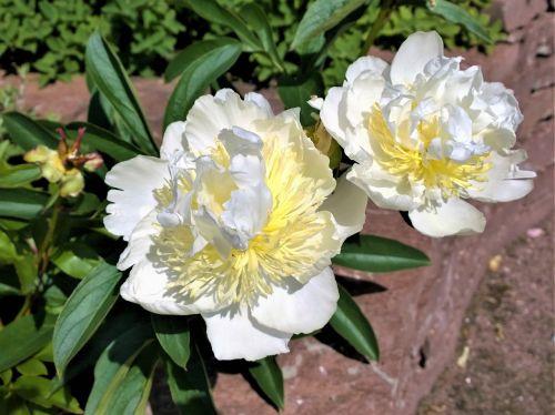 gėlės,pionas,sodas,vasaros gėlės,augalai,didelės gėlės,Iš arti,parkas,gražus,žydėjimas,vasara,balta,peonijos,daugiametis,baltos spalvos peonija,žiedlapis,pistil,augalas,geltonos gėlės,geltona gėlė,gėlė,vasaros sezonas,korola,dekoratyvinis augalas,nuotrauka,lauke,nuolaida,sodinti,graži gėlė,vasaros gėlė,žydinčios gėlės,romantiškai