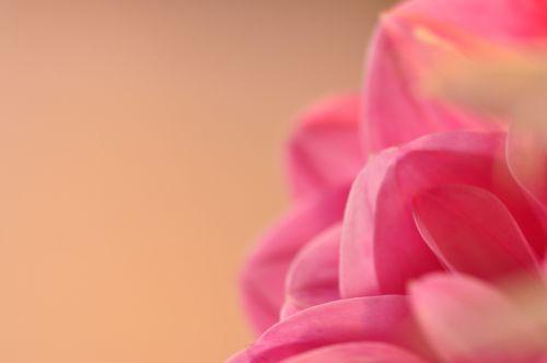 gėlės,gėlė,vasara,rožinis,rožinė gėlė,vasaros gėlė,viena gėlė,denmark,romantika,dahlia,georgine