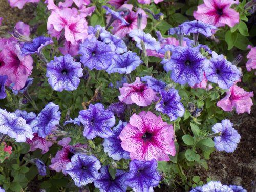 gėlės,gražios gėlės,rožinis,violetinė,dekoratyvinis augalas,ryskios spalvos