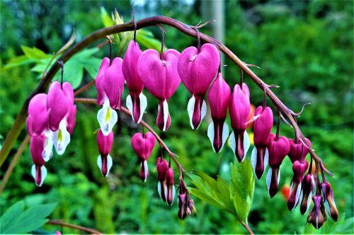 gėlės,širdis,meilė,sodas,romantiškas,gėlė,širdyje,gražus,augalas,lapai,spalva,žydėjimas,augalai,Iš arti,žaluma,žiedlapis,vasara,nuolaida,žydinčios gėlės,nuotrauka,žalias,spalvos,vasaros gėlės,vasaros laikas,Švedija,vasaros pradžia,sodinti,spalvinga,gražūs žiedlapiai,nuolaidos,vasaros gėlė