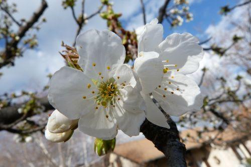 gėlės,makro,sodas,gamta,pavasaris,žydėjimas,balta,vyšnia,vaismedis,šviesa