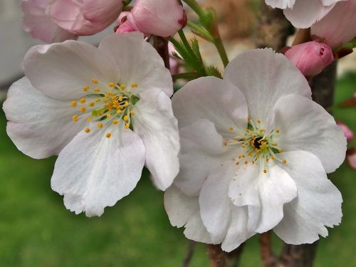 gėlės, Uždaryti, vyšnių žiedas, žiedas, baltas žiedas, be honoraro mokesčio