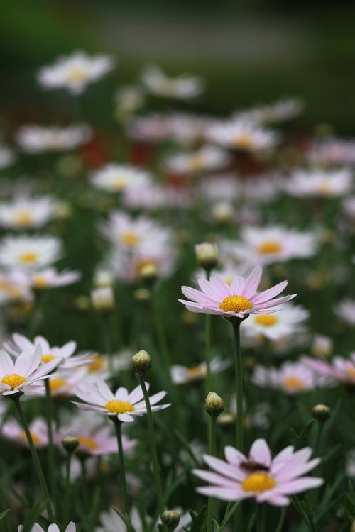 gėlės, pobūdį, augalai, s, pievomis, Wildflower, laukinių, baseinas, laukas, gražus, Laukiniai augalai, Daisy, Shasta nebuvo, Balta gėlė, Margaret, Margaret gatvė, baltos gėlės, grynas, žiedas, tikiuosi, taika, Shasta Daisy