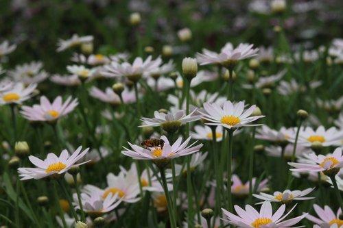 gėlės, pobūdį, augalai, s, pievomis, Wildflower, laukinių, baseinas, laukas, gražus, Laukiniai augalai, Daisy, Shasta nebuvo, Balta gėlė, Margaret, Margaret gatvė, baltos gėlės, grynas, žiedas, tikiuosi, taika, gėlės ir bitės, bičių, Shasta Daisy