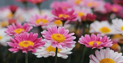 gėlės, Saulutės, pobūdį, augalų, gėlių, spalvinga, spalva, spalvingos gėlės, farbenpracht, spalvinga įvairovė, įvairovę, gražus, vasaros gėlės, gėlių pieva