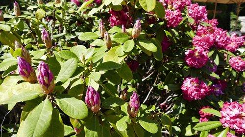 gėlės, žydi, pobūdį, pavasaris, Anemone, Sodas, Hibiscus, raudona, BUD, žiedas, žydi, Iš arti, piestelė, milžinas Hibiscus, Hibiscus flower, gražus, raudona Hibiscus, dekoratyvinis augalas